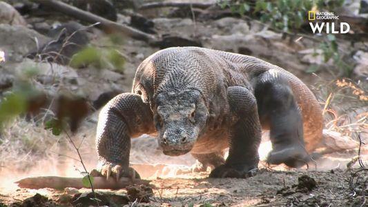 Non, les dragons de Komodo ne sont pas des dinosaures vivants