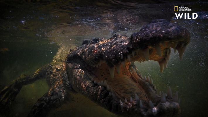 Crocodile marin et crocodile américain : quelles différences ?