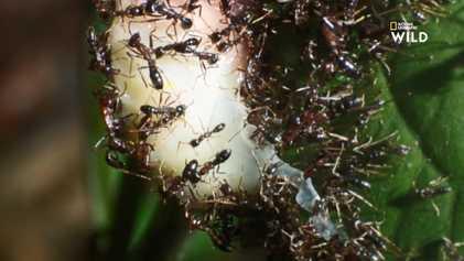 Les invincibles fourmis légionnaires du Rwanda