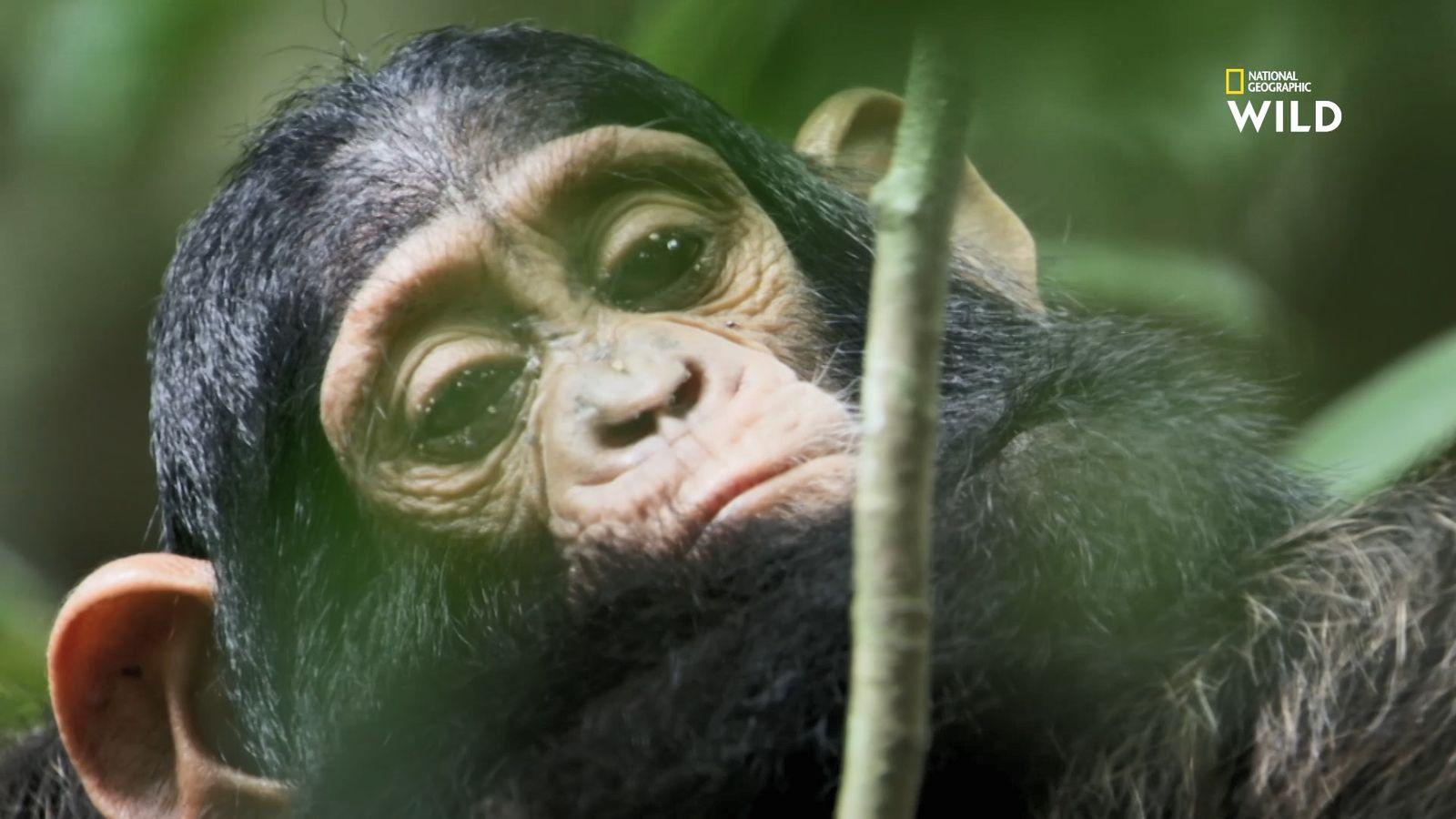 Bagarres amicales entre bébés chimpanzés