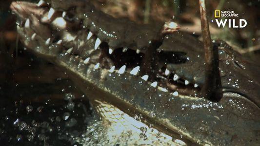 Les crocodiles ne se nourrissent pas par faim