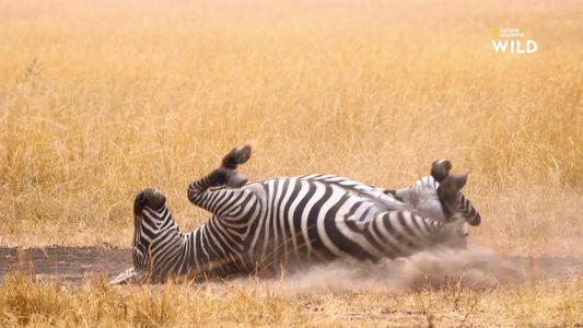 Pourquoi les zèbres se roulent dans la poussière ?