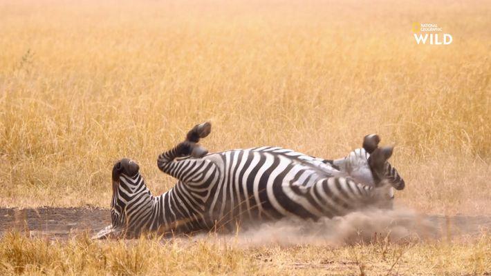 Des zèbres se roulent dans la poussière