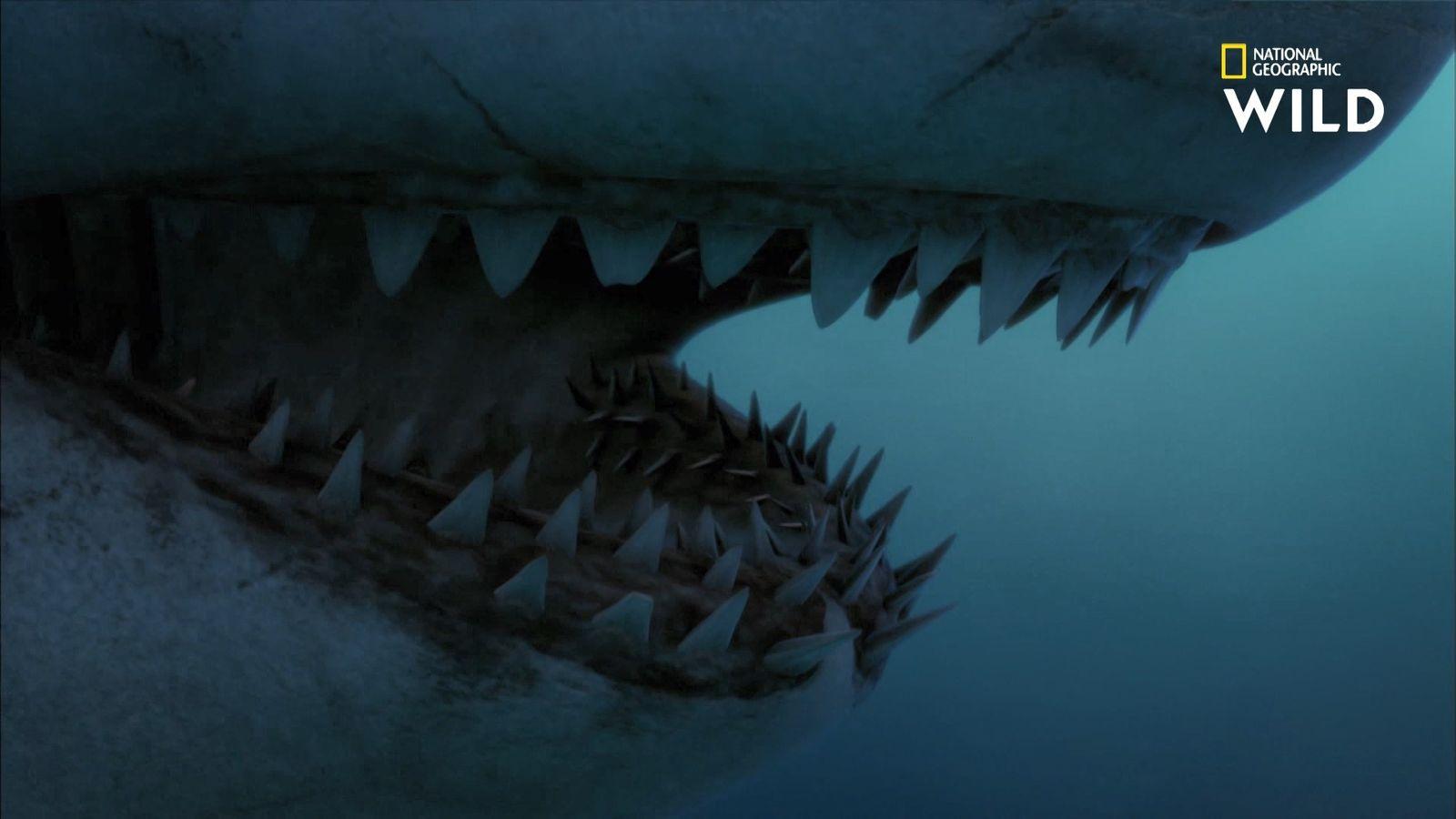 Une dent de mégalodon retrouvée plantée sur une baleine