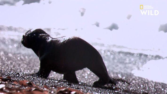 La stratégie des orques pour chasser les otaries