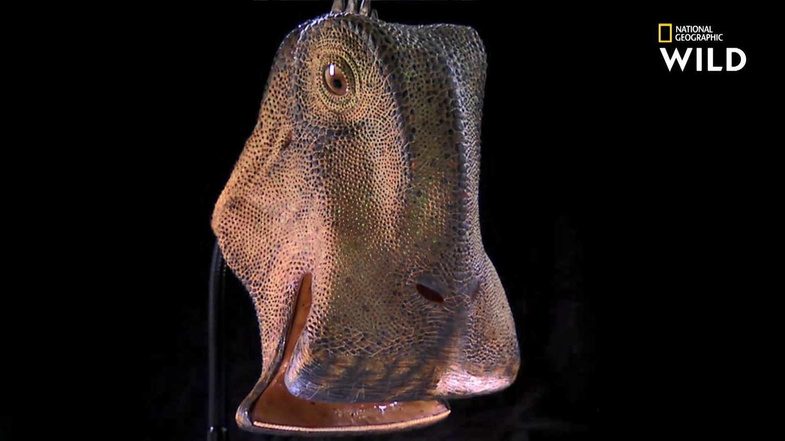 Le Nigersaurus, grand consommateur d'herbe