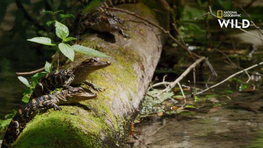 Les premiers instants de vie des alligators et crocodiles