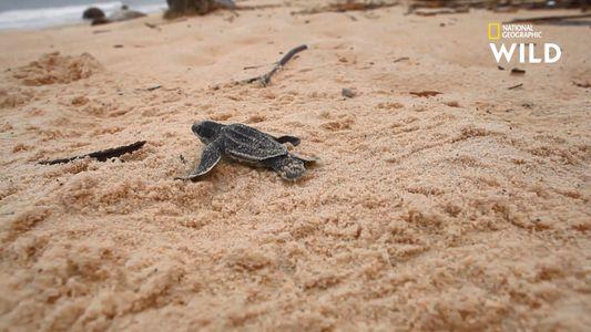 La dure vie d'un bébé tortue