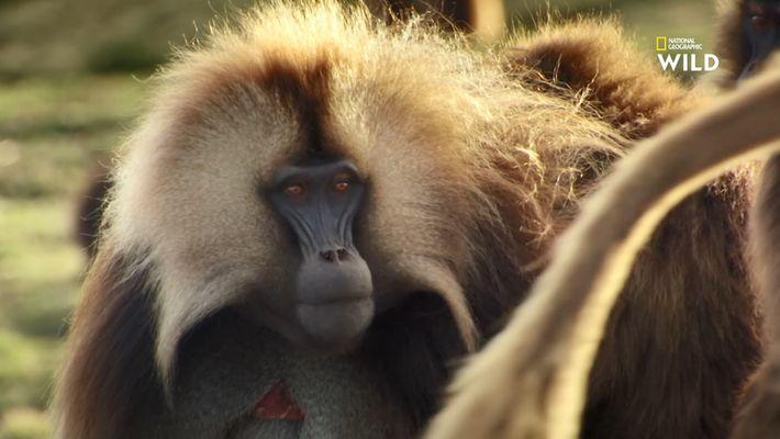 Le Gélada, cet étrange mammifère perché dans les montagnes éthiopiennes