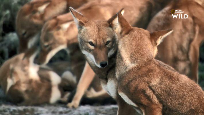 Le loup d'Abyssinie, l'un des plus rares prédateurs au monde