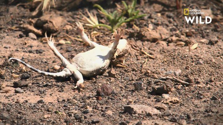 Ce petit reptile a un moyen très viril d'attirer les femelles