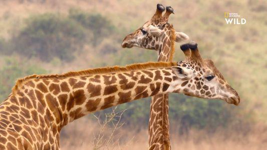 Une girafe essaie d'entraîner une femelle dans son harem