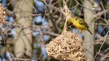 Ces oiseaux construisent des nids, les femelles choisissent les meilleurs