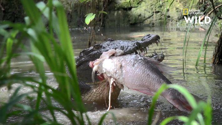 L'ingénieuse technique de chasse des crocodiles
