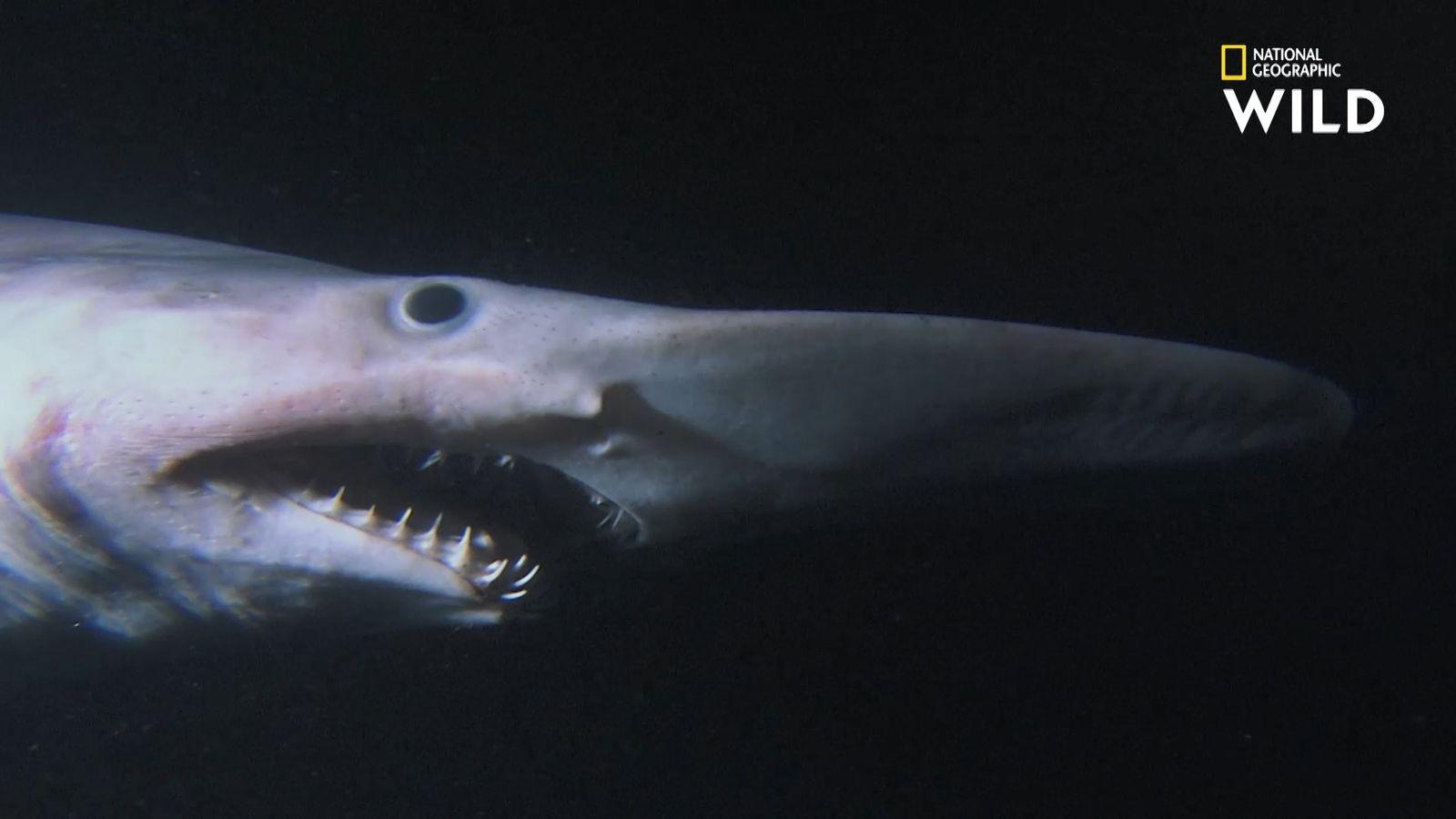 Le requin lutin, effrayant pensionnaire du royaume des abysses