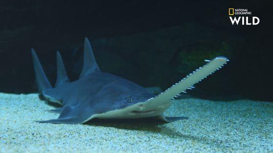 Le poisson-scie, véritable cauchemar pour les requins