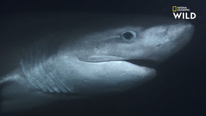 Le requin griset, l'un des plus anciens requins au monde
