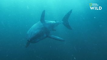 Le grand requin blanc, un corps dédié à la traque des otaries