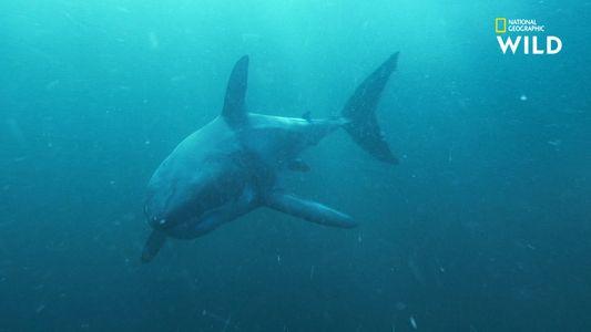 Le grand requin-blanc, un corps dédié à la chasse aux otaries