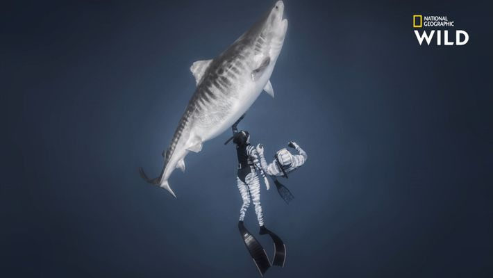 Le plus grand requin-tigre au monde en images