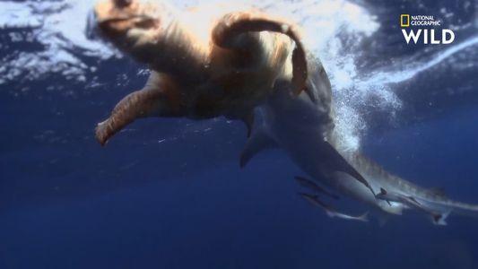 Les requins-tigres se gavent aussi des carapaces de tortues de mer