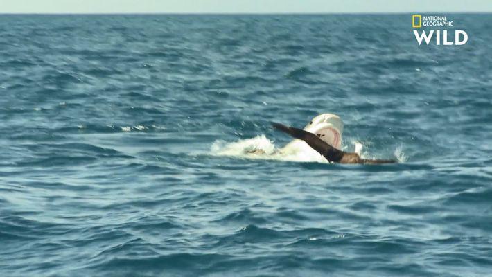 Cet archipel isolé est un véritable paradis pour l'estomac du requin-tigre