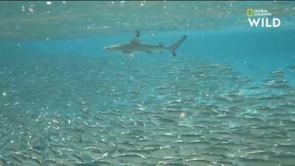 Le requin à pointe noire, coopératif et déterminé