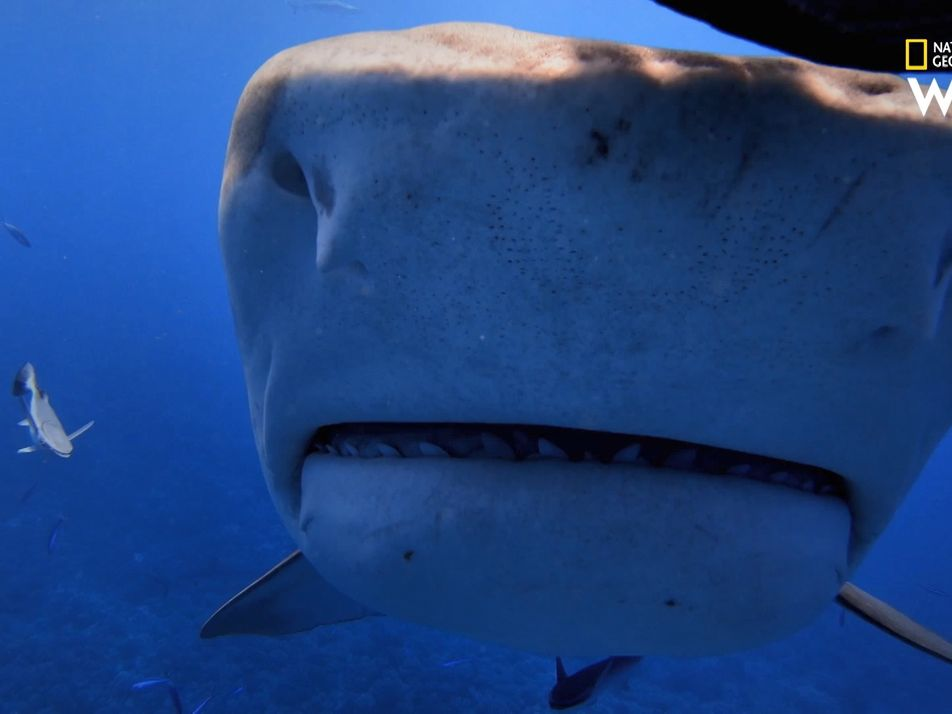 Plongée avec des requins-tigres, au large de Tahiti