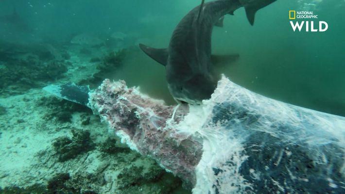 Le requin-tigre, un vorace aux dimensions peu communes