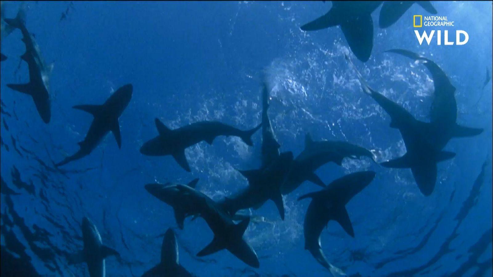 Où vit vraiment le requin du Groenland ?