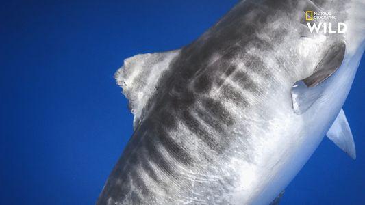 Les nageoires, cartes d'identité des requins-tigres