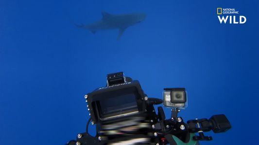 Ces plongeurs nagent avec de jeunes requins-tigres