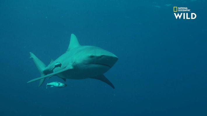 Le requin-bouledogue, adepte de l'eau douce