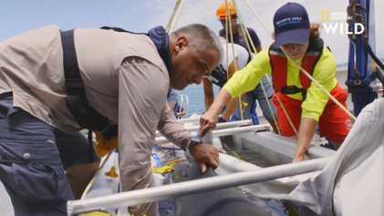 Immobilisation forcée pour ce requin-bouledogue