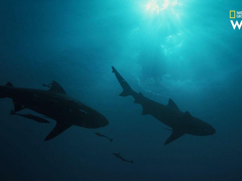 Le requin-bouledogue, agile survivant des eaux chaudes