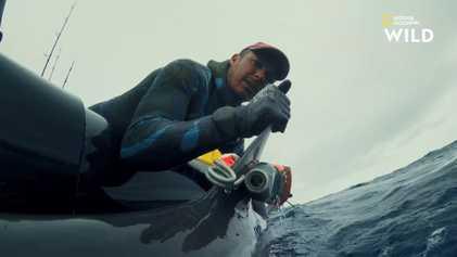 Ce scientifique essaie de capturer un requin-bouledogue