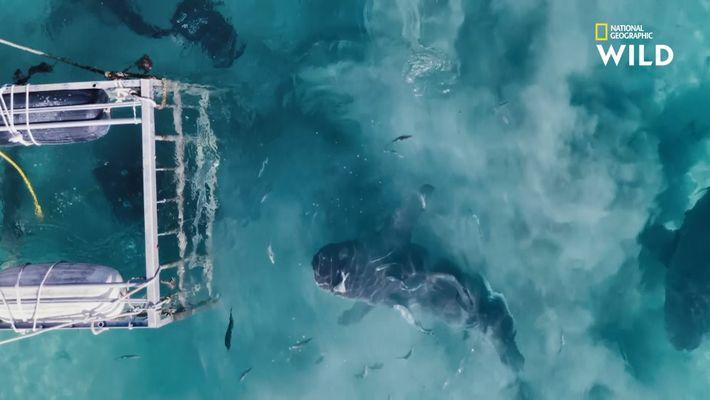 Le requin-bouledogue, chasseur en eaux troubles