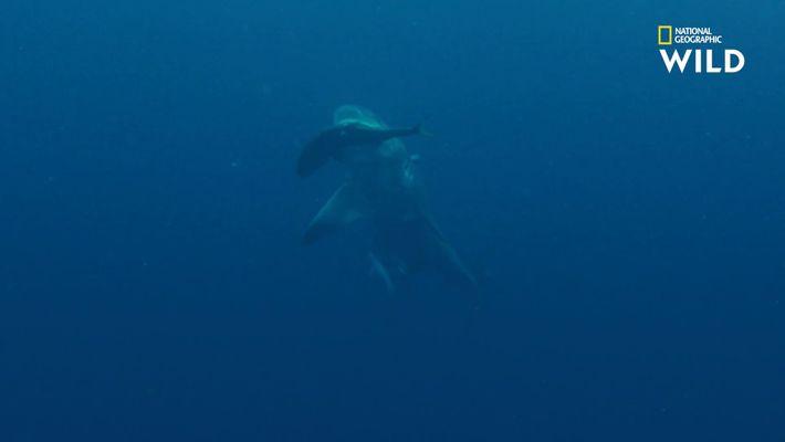 Les carangues, ce met tant apprécié du requin-bouledogue