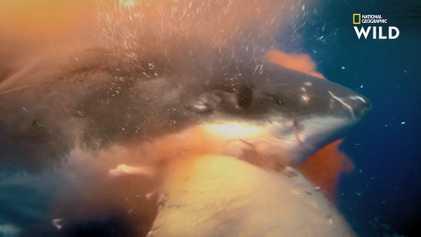 Rare : Un grand requin blanc dévore un éléphant de mer