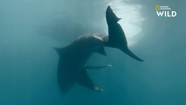 Le port de Nouméa, repère des requins bouledogues