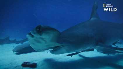 Les requins sont-ils attirés par les champs magnétiques ?