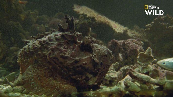 Le poisson-pierre, ce fascinant monstre aquatique