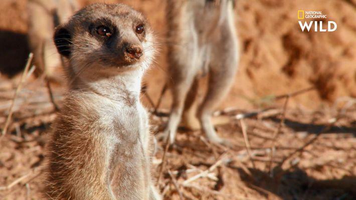 Faire le guet chez les suricates : un véritable métier