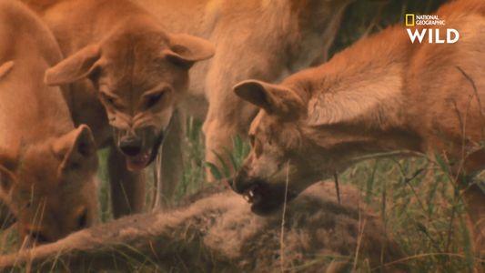 Un kangourou en proie à une attaque de dingos