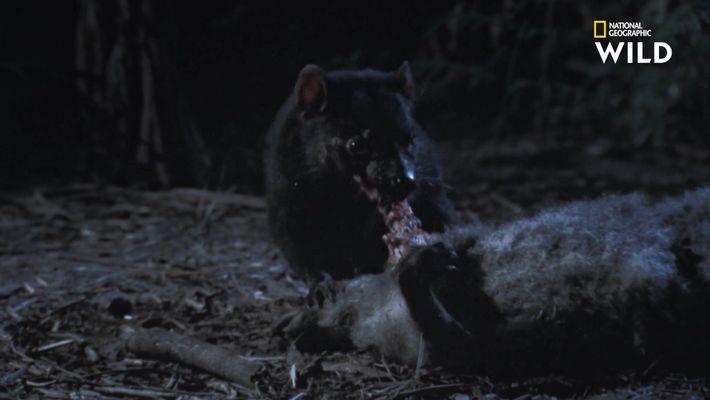 Le diable de Tasmanie, petit marsupial aux puissantes mâchoires