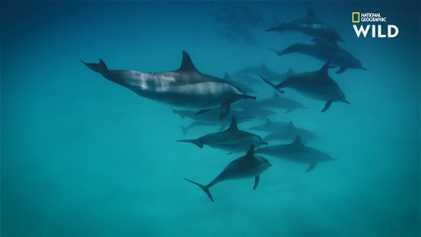 Dauphins contre requins : David contre Goliath ?