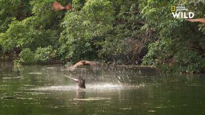 Des crocodiles de Johnstone partent à la chasse aux chauve-souris