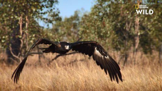Un aigle d'Australie à l'assaut d'un lapin de Garenne