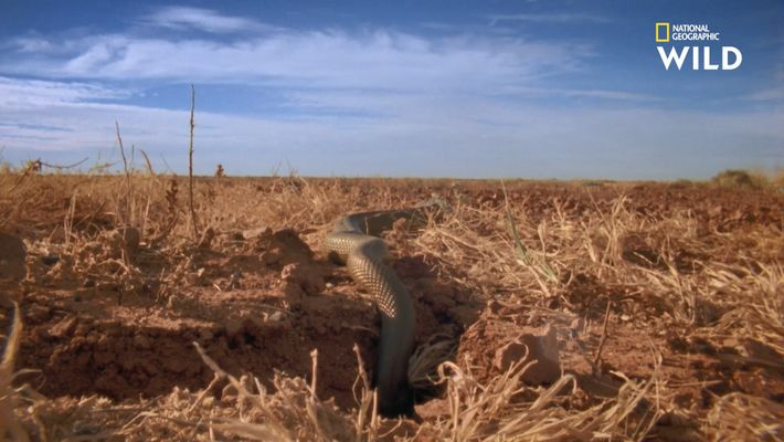 Le taïpan du désert chasse grâce aux substances chimiques contenues dans l'air