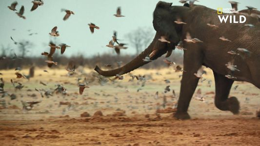 Le musth de l'éléphant, cycle annuel de domination